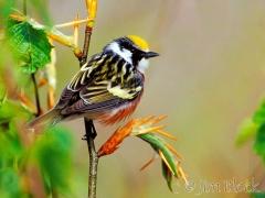 871h-chestnut-sided-warbler-4