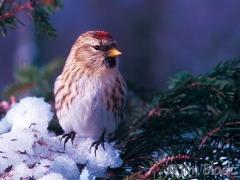931-redpoll-in-winter