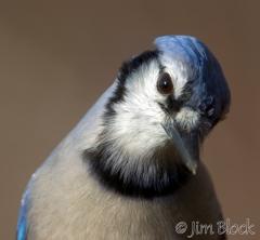 ak614-blue-jay-up-close