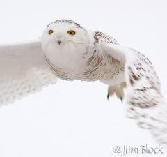 ao346-snowy-owl