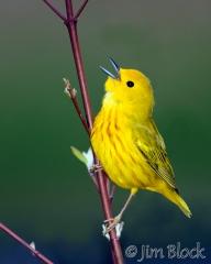 as655-yellow-warbler