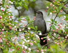 bx602-gray-catbird-in-apple-tree