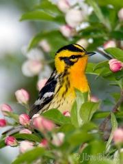 bx816-blackburnian-warbler