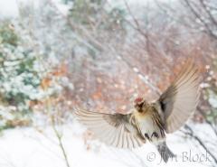 cj74c-common-redpolls-flying-in-snow-storm