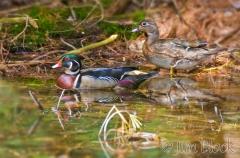 cl374h-wood-ducks