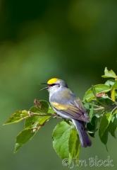 cy741-brewsters-warbler