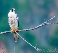 d306017-peregrine-falcon