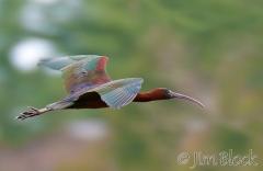 de177-glossy-ibis