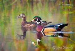 dg533-wood-duck-pair-in-clay-brook