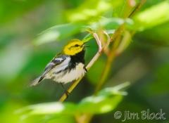 si210e-black-throated-green-warbler-sears-island-me