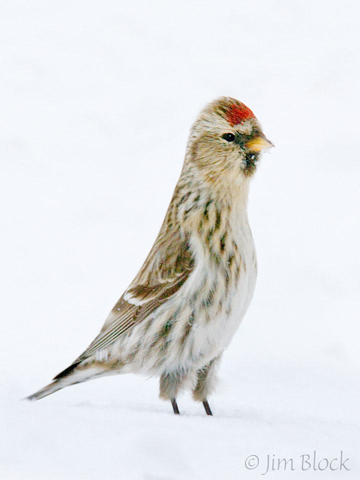 6-cj80d-common-redpoll-looking-tall