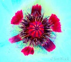 40-cz363-white-poppy-embedgelab