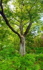 cz012-tree-at-cossingham-pan