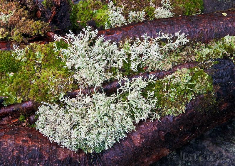 cv235-reindeer-lichen