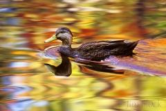 black-duck-at-somesville