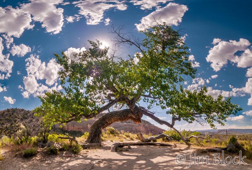 EE022--Big-Tree-on-Big-Island---Pan-(7)