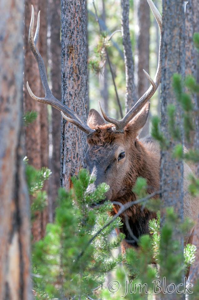 DY114C--Bull-Elk