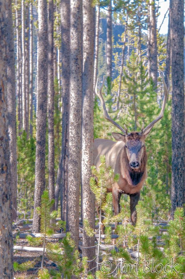 DY114I--Bull-Elk